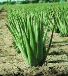 Aloe Vera Linn, Aloe barbadensis, Mill. Aloe vulgaris, Crocodiles tongues (Inggris); Jadam (Malaysia), Salvila (Spanyol), Lu hui (Cina).